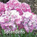 Armeria Splendens - Sea Thrift