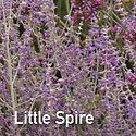 Perovskia Little Spire - Russian Sage.