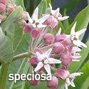 Asclepias speciosa - Showy Milkweed.jpeg