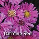 Aster Kickin Carmine Red - Michaelmas Daisy