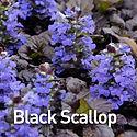 Ajuga Black Scallop - Bugle Weed.jpeg