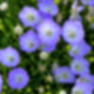 Campanula Delft Teacups - Bellflower