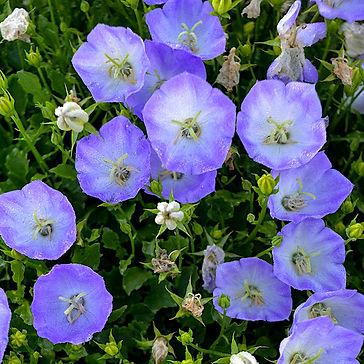 Campanula c. Delft Teacups - Bellflower
