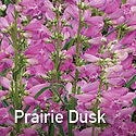 Penstemon Prairie Dusk - Beardtongue