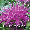 Monarda Blue Stocking - Bee Balm