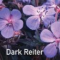 Geranium Dark Reiter - Cranesbill