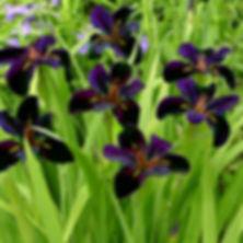 Iris Black Gamecock - Louisiana Iris