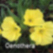 Oenothera missouriensis - Missouri Primrose