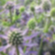 Eryngium p. Blue Glitter - Sea Holly.jpg