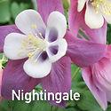 Aquilegia Songbird Nightingale - Columbine
