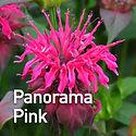 Monarda Panorama Pink - Bee Balm.jpeg