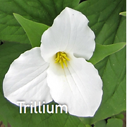 Trillium grandiflorum - Wake Robin.