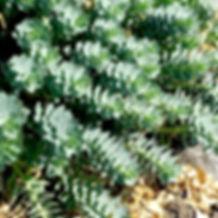Euphorbia myrsinites - Donkey's Tail