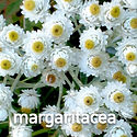 Anaphalis margaritacea - Pearly Everlast