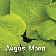 Hosta August Moon