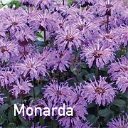 Monarda Blue Moon - Bee Balm