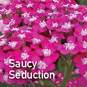 Achillea (Yarrow) Saucy Seduction