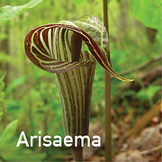 Arisaema t. - Jack-in-the-Pulpit
