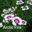 Dianthus Arctic Fire - Pinks.jpeg