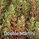 Sedum Double Martini - Stonecrop