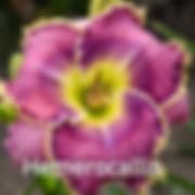 Hemerocallis Raspberry Eclipse - Daylily.