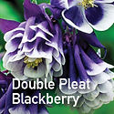 Aquilegia Double Pleat Blackberry - Columbine