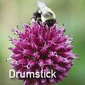 Allium Drumstick - Ornamental Onion
