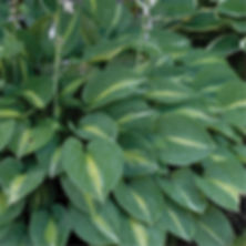 Hosta Striptease.jpg