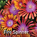 Delosperma Fire Spinner - Ice Plant