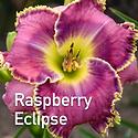 Hemerocallis Raspberry Eclipse - Daylily
