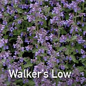 Nepeta Walkers Low - Catmint