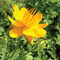 Trollius Golden Queen - Chinese Globeflower.