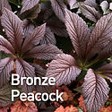 Rodgersia Bronze Peacock.jpeg
