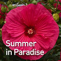 Hibiscus m. Summer in Paradise.jpeg