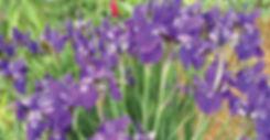 Siberian Iris Caesars Brother
