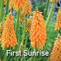 Kniphofia First Sunrise - Red Hot Poker