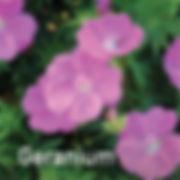 Geranium Alpenglow - Cranesbill