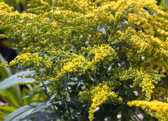 Solidago 'Crown of Rays'