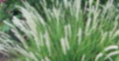 Sesleria autumnalis - Autumn Moor Grass