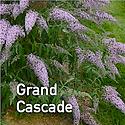 Buddleia Grand Cascade - Butterfly Bush