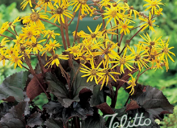 Ligularia d. 'Midnight Lady'