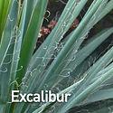 Yucca f. Excalibur - Adam's Needle.jpeg.