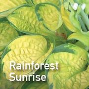 Hosta Rainforest Sunrise