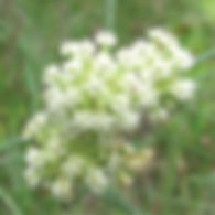 Asclepias verticillata - Whorled Milkwee