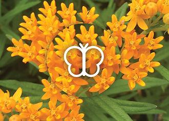 Perennials for Butterflies - Asclepias tuberosa