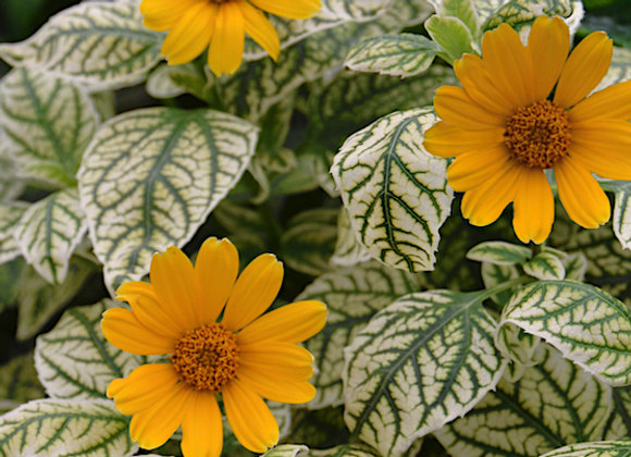Heliopsis var. 'Sunburst'