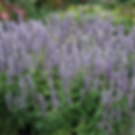 Agastache Blue Fortune - Anise Hyssop.jp
