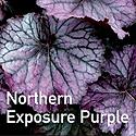 Heuchera Northern Exposure Purple - Coral Bells.
