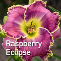 Hemerocallis Raspberry Eclipse - Daylily