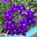 Verbena c. Homestead Purple - Vervain.jp